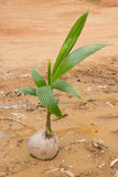 Sprössling des Kokosnussbaums Stockbilder
