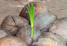 Sprössling des Kokosnussbaums Stockfotos