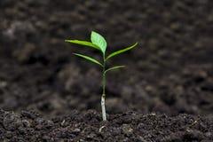 Sprössling für das Pflanzen am Bauernhof lizenzfreies stockbild