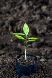 Sprössling für das Pflanzen am Bauernhof Lizenzfreie Stockbilder