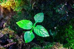 Sprössling und grüner Mooshintergrund, Baum mit grünem Moos Eine Abbildung einer Batikauslegung in zwei Farbtönen Braun oder des  Stockfoto