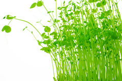 Sprössling von grünen Erbsen Lizenzfreie Stockfotografie