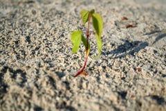 Sprösslingaprikose keimt Sand Lizenzfreies Stockbild