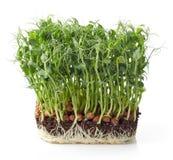 Sprösslinge der grünen Erbse Lizenzfreie Stockfotografie