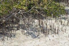 Sprösslinge einer Mangrovenanlage Stockfoto