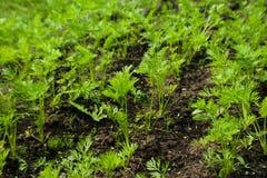 Sprösslinge von jungen Karotten an einem sonnigen Tag im Garten lizenzfreie stockbilder