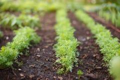 Sprösslinge von jungen Karotten wachsen auf einem Gartenbett stockfotografie