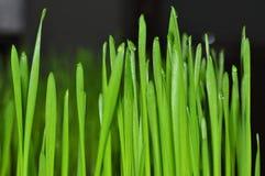 Sprösslinge von jungen Weizenanlagen in der natürlichen Umwelt, Nahaufnahmen lizenzfreie stockbilder