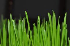 Sprösslinge von jungen Weizenanlagen in der natürlichen Umwelt, Nahaufnahmen stockfoto