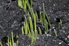 Sprösslinge von jungen Weizenanlagen in der natürlichen Umwelt, Nahaufnahmen stockfotos
