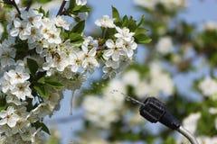 Sprühkirschblumen Lizenzfreie Stockfotografie