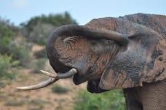Sprühschlamm des afrikanischen Elefanten Stockbilder