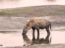 Spragniona hiena bierze napój przy półmrokiem od waterhole z ładnym odbiciem w wodzie, obraz royalty free