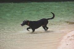 Spragniony pies w oceanie Obrazy Stock