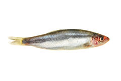 Sprat Royalty Free Stock Photo