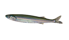 Sprat Fish Royalty Free Stock Photo