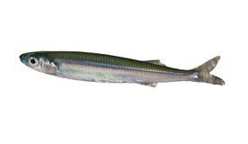 Sprat Fish. (Clupeonella delicatula) underwater isolated on white background royalty free stock photo