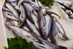 Sprat fishes market. Pile of fresh sprat fishes laying on the ice on the market Royalty Free Stock Photo