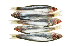 Sprat Group Royalty Free Stock Images