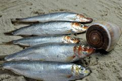 Sprats on beach with long conical shell Royalty Free Stock Photography