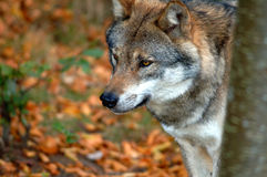 sprawdź wilka lasem Obraz Royalty Free