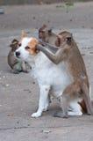 sprawdzać pchieł małpy Obrazy Stock