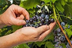 sprawdzać w górę vintner zamknięci winogrona Obraz Royalty Free