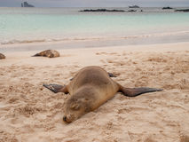 Sprawled Sleeping Sea Lion. Sleeping sea lions on beach with green ocean, cloudy sky, yacht and Kicker Rock in the background Royalty Free Stock Photo