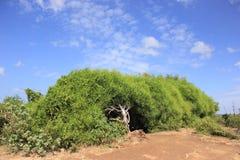 Sprawling shrub. With lush foliage green leaf Royalty Free Stock Photos