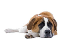 Sprawling St. Bernard dog Stock Photos