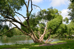 The sprawling willow grows on the bank of a pond Royalty Free Stock Image
