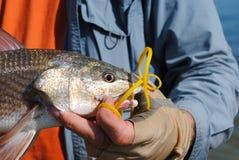 sprawni rybaków złapani redfish fotografia royalty free