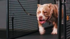 Sprawności fizycznej motywaci śmieszny dowcip Dorosłego pies, biega na karuzeli robi jego cardio treningowi Chłodno mądrze zwierz zbiory wideo