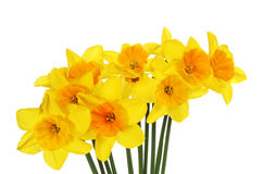Spray of daffodills Royalty Free Stock Image