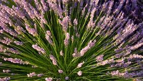Spray des Lavendels Stockbild