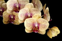 Spray of Golden Moth Orchids Royalty Free Stock Photo