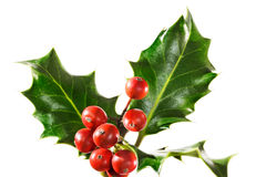 Spray of holly. Holly branch with berries, isolated stock photography