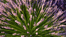 Spray of lavender Stock Image