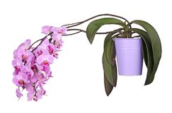 Potted, flowering Phalaenopsis orchid plant isolated Stock Photography