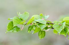 Linden. Spray of linden Tilia sp. with young leaves. Close up Royalty Free Stock Images
