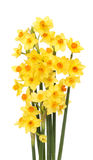 Spray Of Daffodils Stock Images
