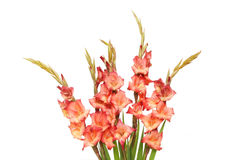 Spray of gladioli flowers Royalty Free Stock Photo