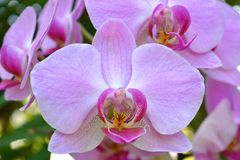 Spray of delicate pink orchids royalty free stock photography