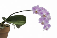 Spray of pink orchid flowers and plant Stock Image