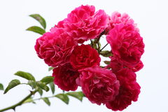 Spray of pink roses. An isolated spray of full, pink roses on a white background Royalty Free Stock Photography