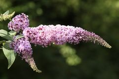 A spray of a beautiful Buddleia flowers growing wild in the countryside in the UK. royalty free stock photography