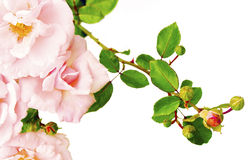 Spray rose. Royalty Free Stock Photos