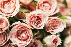 Spray roses. Close up of pink spray roses, background Royalty Free Stock Photo
