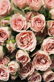 Spray roses. Close up of pink spray roses, background Stock Photography