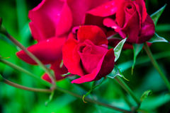 Spray roses speckled. Varietal rose. unusual rose. plants for sale and breeding Stock Photos